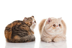 Exotic shorthair cat.  Two cats Stock Photo