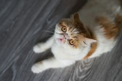 Exotic shorthair cat on wood floor. Top view or flat lay portrait of Brown Exotic shorthair cat look at camera and sit on wooden floor with copy space for text Stock Photos
