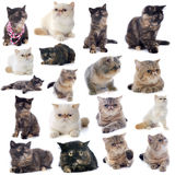 Exotic shorthair cats. In front of a white background royalty free stock photography