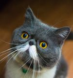 Exotic Shorthair Cats looked up. With funny face royalty free stock photography