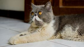 Exotic Shorthair Cats looked up. Like praying stock photography