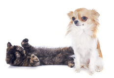 Exotic Shorthair kitten and chihuahua royalty free stock photo