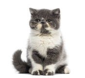 Exotic Shorthair kitten (3 months old) Stock Photos