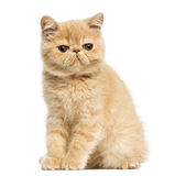 Exotic shorthair kitten sitting,. Looking at the camera, 10 weeks old, isolated on white Royalty Free Stock Photos