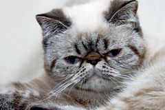 Exotic shorthair kitten Royalty Free Stock Image