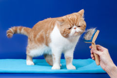 Exotic shorthair is very pleased i  Stock Photography