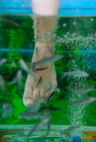 Exotic small fishes I do a peeling of feet. Small fishes in an aquarium do foot clarification Royalty Free Stock Photo