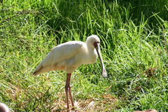 Exotic spoonbill. An exotic bird known as a spoonbill Stock Images