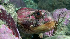 Exotic spotted red fish underwater on seabed of Barents Sea. Diving on background of blue lagoon and wildlife in Arctic ocean stock video footage