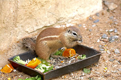 Exotic squirrel Stock Images