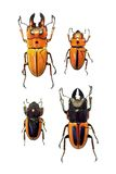 Exotic stag beetles Royalty Free Stock Photo