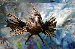 Exotic striped fish in aquarium. View of fish in aquarium with colored background Stock Images
