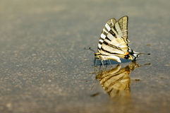 Exotic Swallowtail butterfly who drinks water Stock Photography