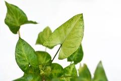Exotic Syngonium podophyllum `Pixi` or `Arrow` Arrowhead Vine plant on white background