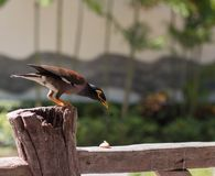 Exotic Thai bird usual myna, locust Starling, Mockingbird stock photography