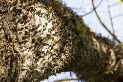 Exotic thorny tree. Exotic tree with a thorny trunk Stock Photo