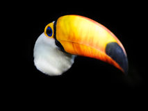 Exotic Toucan Bird Emerging from Dark Background Royalty Free Stock Photography