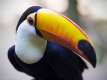 Exotic Toucan Bird in Natural Setting, Foz do Iguacu, Brazil Royalty Free Stock Photography