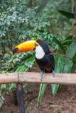 Exotic toucan brazilian bird in nature in Foz Royalty Free Stock Photo