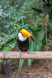 Exotic toucan brazilian bird in nature in Foz Royalty Free Stock Photography