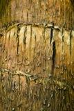 Exotic tree bark palm Stock Photography