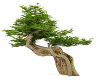 Exotic tree. Bonsai Royalty Free Stock Image