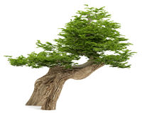 Exotic tree. Bonsai Stock Photo