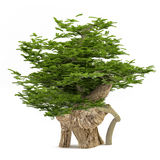 Exotic tree. Bonsai Stock Photos