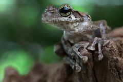 Exotic tree frog, Osteocephalus taurinus. A treefrog from the Amazon rain forest with beautiful colored eyes. Macro of atropical amphibian at night stock image