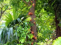Exotic tree with fruits and flower in the Park stock photo