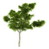 Exotic tree isolated. Stock Photo