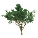 Exotic tree isolated. Stock Photos