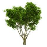 Exotic tree isolated. Royalty Free Stock Photo