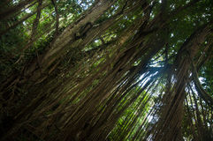 Exotic tree with lianas Royalty Free Stock Photography