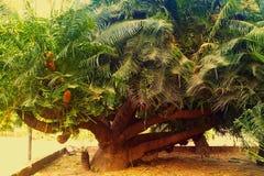 Exotic tree in maharajah palace. Unusual tree. Photo taken in Vadodara, India Royalty Free Stock Photos