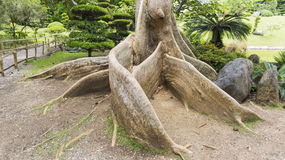 Exotic tree roots royalty free stock photography