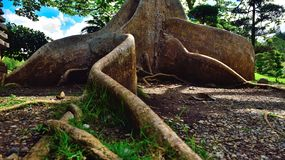 Exotic tree roots royalty free stock photo