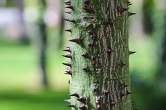 Exotic tree with sharp thorns. Green blurry background. Royalty Free Stock Images