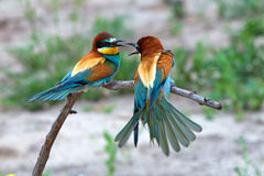Exotic tropical birds Royalty Free Stock Photography