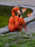 Red Flamingo Bird Royalty Free Stock Photography