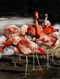 Exotic Tropical Birds Red Pink Flamingo Wildlife Royalty Free Stock Image