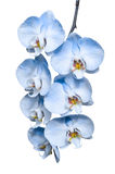 Exotic tropical branch of romantic blue orchids flowers Stock Photo