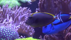 Exotic tropical Clownfish in blue water of aquarium. Shot in motion. Shallow depth of field stock footage