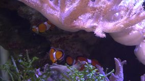 Exotic tropical Clownfish in blue water of aquarium. Shot in motion. Shallow depth of field stock video