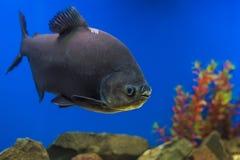 Exotic Tropical coral fish environment of the aquarium Royalty Free Stock Photo