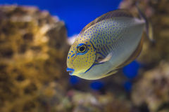 Exotic Tropical coral fish environment of the aquarium Stock Images