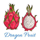 Exotic tropical dragon fruit or pitaya sketch Royalty Free Stock Image