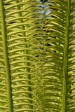 Exotic tropical ferns, Fiji Royalty Free Stock Photo
