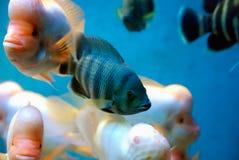 Exotic tropical fish stock image