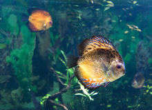 Exotic tropical fish Stock Photography